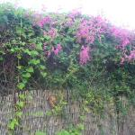Bogenvilla flowering over the fence