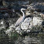 Kayaking with a Great Heron