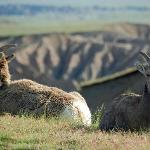 Mountain goats in the nearby Badlands