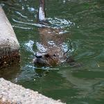 Otter, Henson Robinson Zoo, Springfield, Illinois