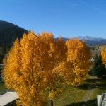 Beautiful Aspen trees