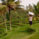 Rice paddies next to Villa Sebali