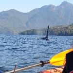 Male Killer Whale from our Kayak
