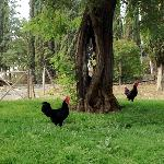 a couple of the chickens on the grounds