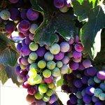 Cabernet Sauvignon grapes in the Seven Oaks vineyard