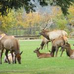 Elk on the golf course next to Discovery Lodge