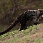 White Nosed Coati on the golf course