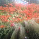 pretty crocosmia in the fog