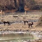 Wild Dogs at the waterhole