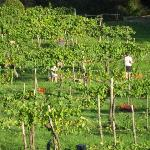 Fontanaro Vineyard during harvest