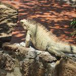 George, the resident Iguana