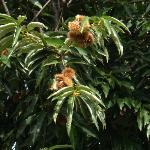 中庭の栗の木は今が丁度拾い時でした
