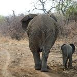 On game drive - Ellie mum and calf