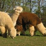 Visit our sweet Alpacas