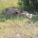 The cheetah enjoying its lunch