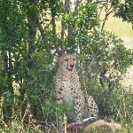 The cheetah taking a break after the chase and kill.