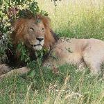The contented/satisfied lion