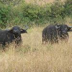 Buffaloes around the Mara Eden Safari Camp