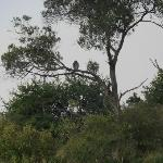 The tawny eagle on the lookout.