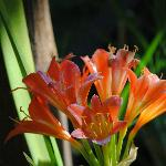 the clivia's is in full bloom