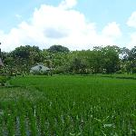 lush green paddy field