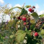 Pick wild raspberries on your walks!