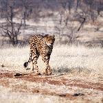 Game walk with cheetah