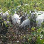 Herd of Sicilian lawn mowers