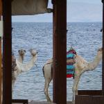 camels wandering by