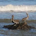 pelikanen in de baai beneden
