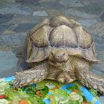 Blondie the Tortoise