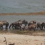 Zebre al fiume Galana