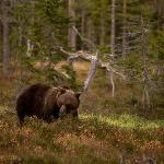 Brown bear seen on a tour