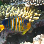 Empress butterfly fish
