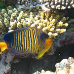 Empress butterfly fish