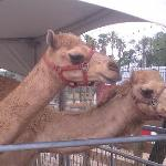 The camels in the more family friendly section that doesn't require tall fencing.