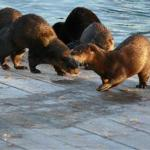 Otters on the boat ramp