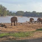 Elephants Quenching their thirst at Ewaso Nyiro river, Samburu, Kenya