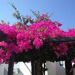 Oia fleurs