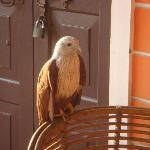 Resident friendly eagle - Krishna