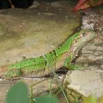 Iguana at the pool