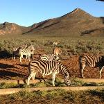 Zebra at Aquila