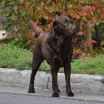 "Chocolate Lab is Tivoli's special ""greeter"""