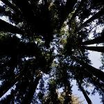 Looking up in forest from walking path