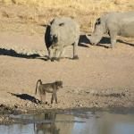 Rhino & Baboons