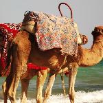 cammelli spiaggia iliade