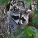 """""""Our"""" raccoon, after he'd left the balcony"""