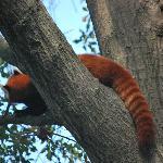Super cool red panda