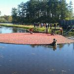 harvesting cranberries