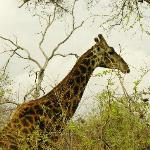 giraffe local